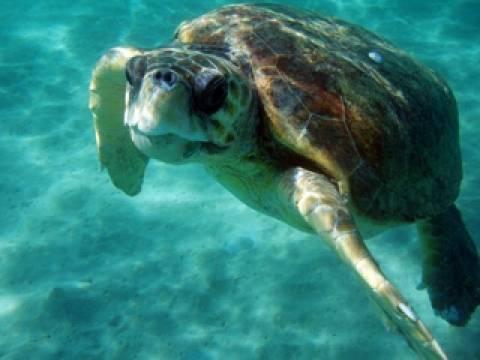 Εύβοια: Νεκρή θαλάσσια χελώνα στην παραλία Κυμάσι (pic)