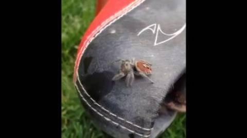 Είδε την αράχνη να πηδάει και... τρελάθηκε! (βίντεο)