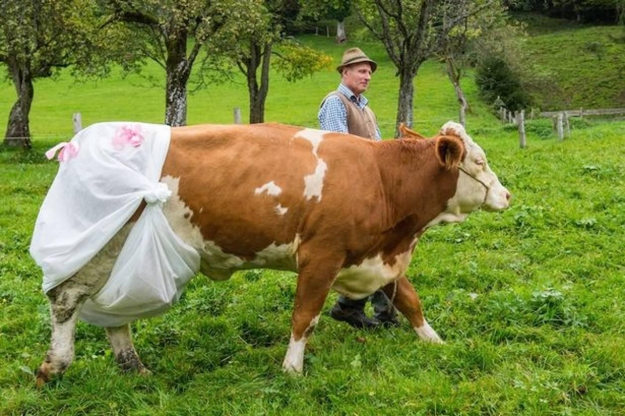 Έβαλε πάνες σε... αγελάδες λόγω Ευρωπαϊκής Ένωσης! (pics)