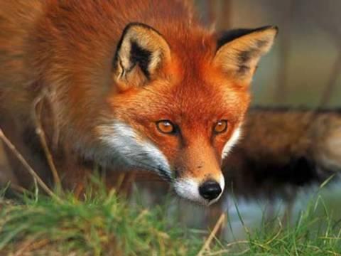 Ξεκινά η ρίψη δολωμάτων για την αντιμετώπιση της λύσσας
