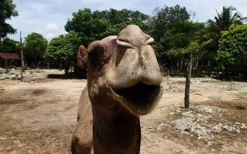 Καμήλα σκότωσε ιδιοκτήτη πάρκου