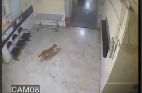 Ινδία: Λεοπάρδαλη επιτέθηκε σε σκύλο μέσα στο νοσοκομείο! (vid)