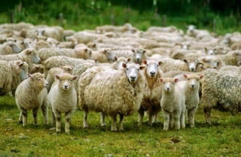 Νεκρά 30.000 ζώα από τον καταρροϊκό πυρετό