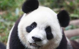 Panda επιδίδεται σε ατομική… προπόνηση!