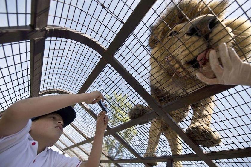 Σαφάρι για λίγους: Λιοντάρια στη φύση, άνθρωποι σε κλουβιά!
