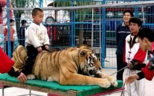 Κίνα: Τίγρης τσίρκου κατασπάραξε κοριτσάκι!