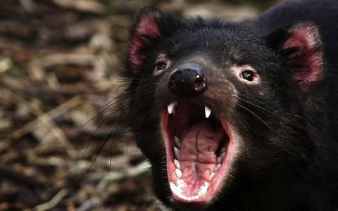 Τασμανία: «Διάβολοι» κατά αγριόγατων