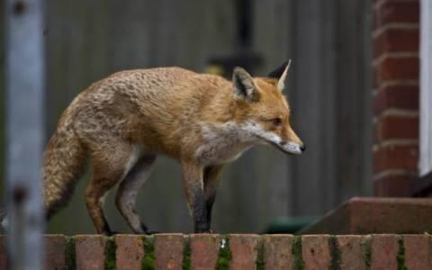 Λονδίνο: Αλεπού δάγκωσε δίχρονο αγόρι