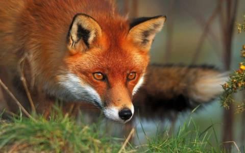 Εμβολιασμός αλεπούδων με ρίψεις εμβολιακών δολωμάτων