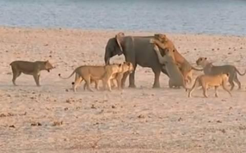 Όταν τα λιοντάρια μένουν με το στόμα ανοιχτό…