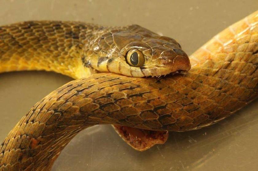 Απίστευτο: Φίδι... αυτοκτόνησε!