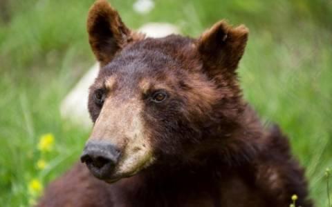 «Έφυγε» ο Γιώργος, ο αρκούδος του Αρκτούρου