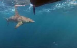 Καρχαρίας κυνηγάει καγιάκ (video)