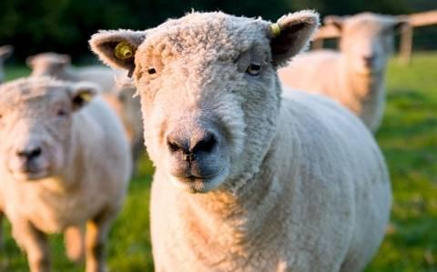 Φοιτητής κακοποίησε πρόβατο λόγω... άγχους!
