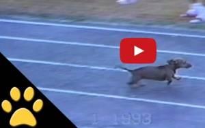 Ο πιο ζαβολιάρης σκύλος σε αγώνα ταχύτητας
