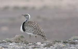 Πακιστάν:Άδειες σε πλούσιους για κυνήγι πτηνού υπό εξαφάνιση