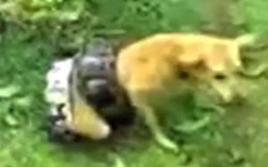Ινδός σώζει το σκύλο του από πύθωνα!