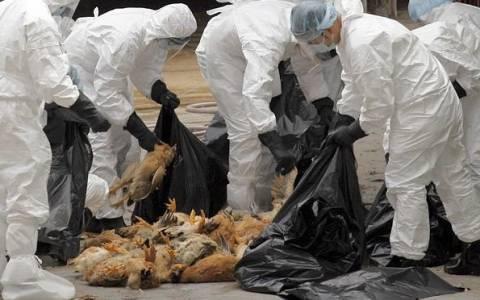 Μικρή η πιθανότητα εξάπλωσης της γρίπης των πτηνών