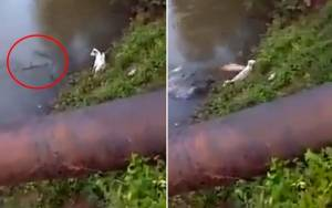 Σκύλος γλύτωσε από επίθεση κροκόδειλου!
