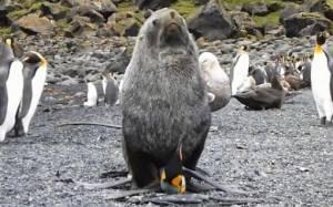 Επιστημονικά αποδεδειγμένο: Οι φώκιες βιάζουν πιγκουίνους!