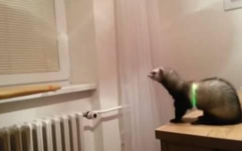 Κουνάβι κεντράρει, υπολογίζει, αλλά κάνει epic fail jump