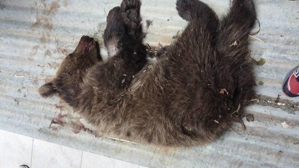 Τραυματίστηκε αρκουδάκι από διερχόμενο αυτοκίνητο (Photo)