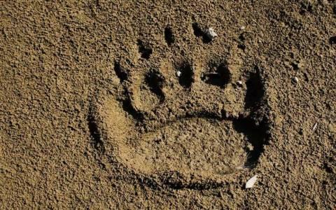 Στην Κτηνιατρική του ΑΠΘ μεταφέρθηκε τραυματισμένο αρκουδάκι