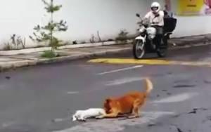 Σπάει καρδιές: Σκύλος προσπαθεί να σώσει χτυπημένο φίλο του