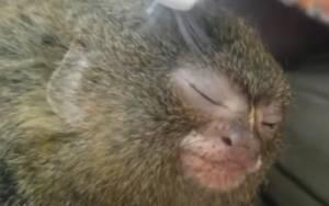 Μαϊμουδίτσα απολαμβάνει μασάζ από μία… οδοντόβουρτσα!