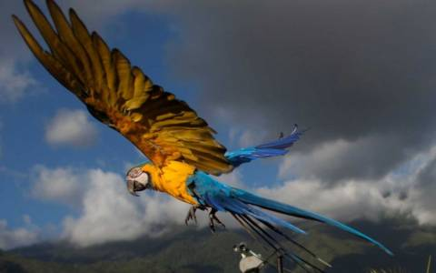 Eκατοντάδες παπαγάλοι βρήκαν καταφύγιο στο Καράκας (photos)