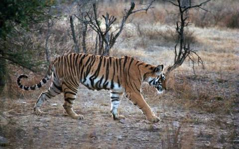Ινδία: Κίνδυνος για τις τίγρεις εξαιτίας της λαθροθηρίας