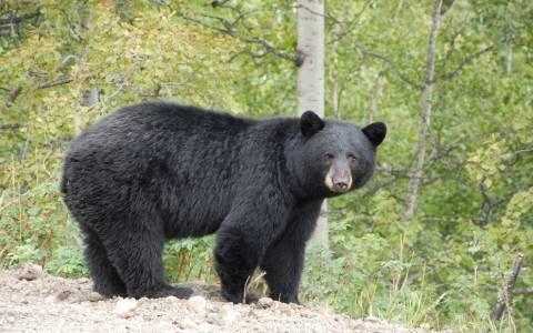 Επανεμφανίστηκαν αρκούδες στο Τσέρνομπιλ