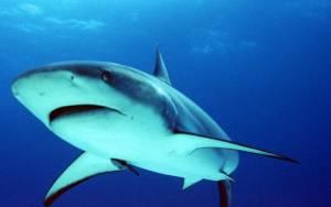 Νεκρός θηλυκός καρχαρίας φέρνει στη ζωή τρία μωρά (Video)
