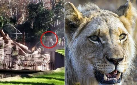 Ακτιβιστής κατασπαράχτηκε από λιοντάρια σε ζωολογικό κήπο!
