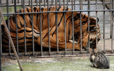 Ο τίγρης του Ζωολογικού Τρικάλων μεταφέρεται στο Σαν Ντιέγκο