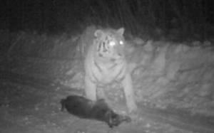Κίνα: Η τίγρη του Πόυτιν τρώει κατοικίδιο σκύλο!