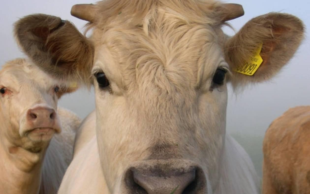 Αγελάδα δραπέτευσε από... σφαγείο!