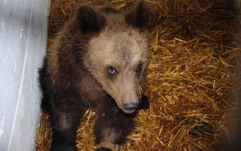 Διέφυγε τον κίνδυνο το αρκουδάκι που βρέθηκε πυροβολημένο