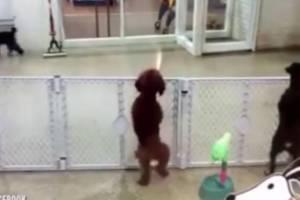 Αξιολάτρευτος σκύλος χορεύει περιμένοντας το αφεντικό του!