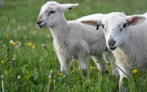 Οι κτηνοτρόφοι της Κρήτης προειδοποιούν για κινητοποιήσεις