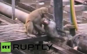 Ινδία: Μαϊμού σώζει… μαϊμού από ηλεκτροπληξία!