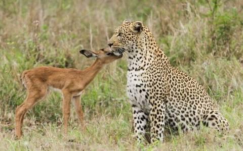 Αντιλόπη αναζητά θαλπωρή από μία λεοπάρδαλη και…