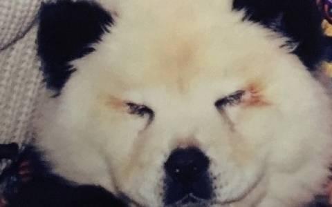Ιταλία: Σώου με σκυλιά βαμμένα για να μοιάζουν με…panda