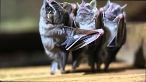 Bat Brothers, οι νυχτερίδες μουσικό τρίο