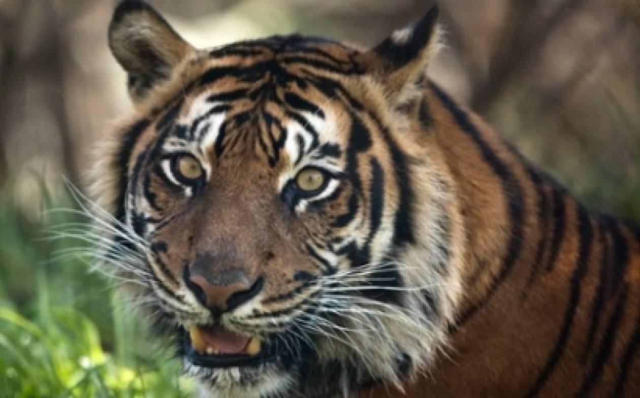 Κινέζος καταδικάστηκε γιατί έτρωγε τίγρεις