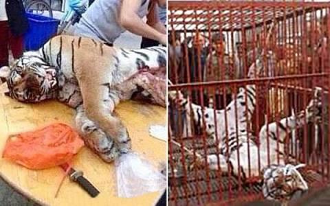 Επιχειρηματίας έτρωγε γεννητικά όργανα τίγρη και έπινε το αίμα τους!