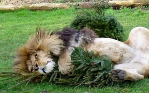 Λιοντάρια-χριστουγεννιάτικα δέντρα: 1-0