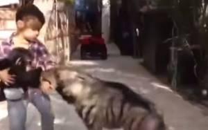 Συγκλονιστικό: Αγοράκι προστατεύει μωρό χιμπατζή από ύαινα!