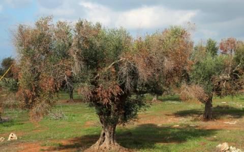 Σήμα κινδύνου από την Ε.Ε. για το βακτήριο που ξεραίνει τα ελαιόδεντρα
