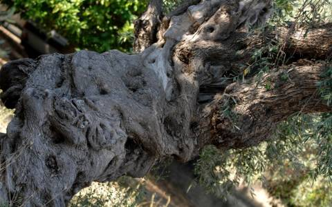 Κινδυνεύουν οι εξαγωγές ελιάς από την αδιαφορία του Υπουργείου Αγροτικής Ανάπτυξης